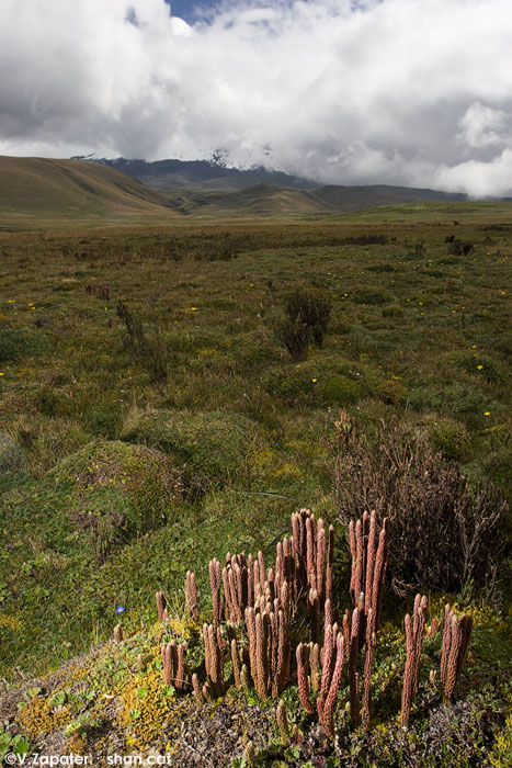 Huperzia crassa (tarugacacho) en el páramo de almohadillas. Reserva Ecológica Antisana (Ecuador). Huperzia crassa (firmosse) in paramo cushion. Antisana Ecological Reserve (Ecuador)