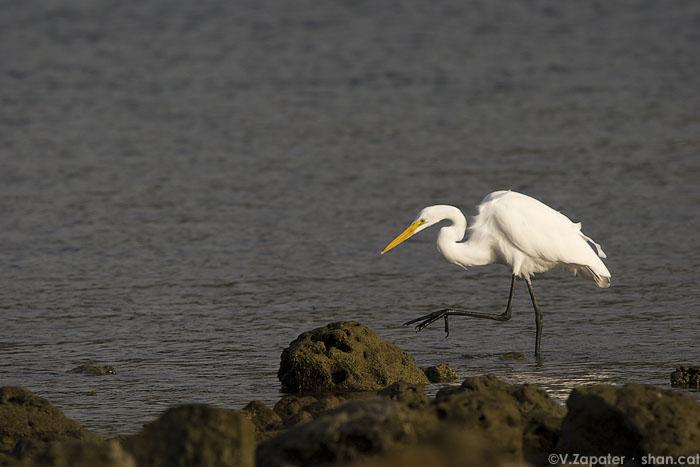 Ejemplar adulto de garceta grande (Ardea alba) en Puerto López, Parque Nacional de Machalilla (Manabí, Ecuador). Great egret in Puerto Lopez, Machalilla National Park (Manabi, Ecuador)