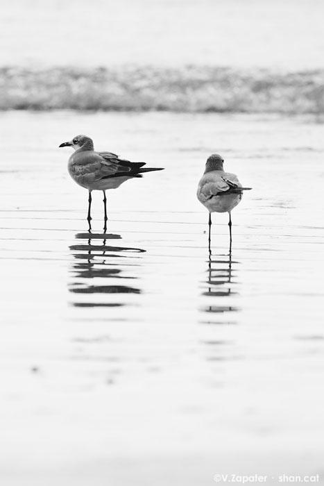 Larus atricilla (Laughing gull) in Puerto Lopez beach (Manabi, Ecuador). Larus atricilla (gaviota reidora) en la playa de Puerto López (Manabí, Ecuador)