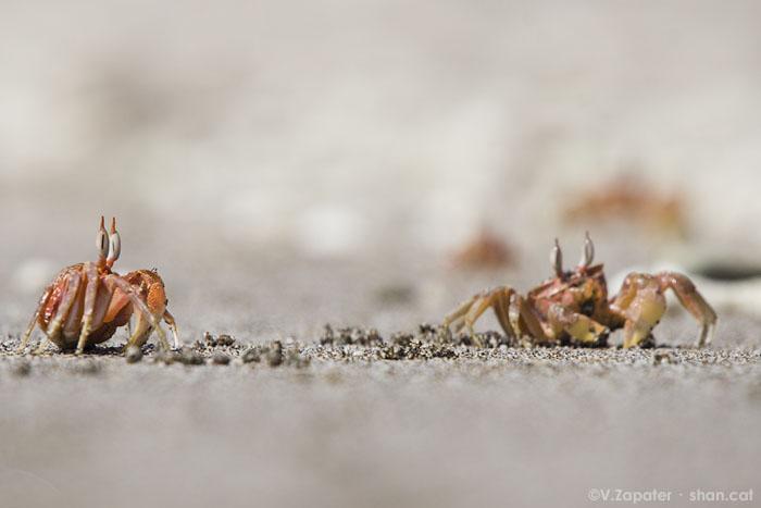 <em>Ocypode gaudichaudii</em> (cangrejo carretero) en la playa de Los Frailes, Parque Nacional de Machalilla (Manabí, Ecuador). Ocypode gaudichaudii (painted ghost crab) in Los Frailes beach, Machalilla National Park (Manabí, Ecuador)