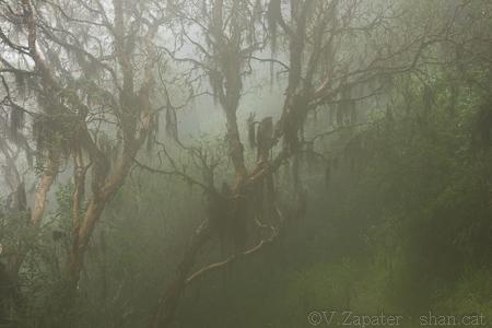 Bosque de Polylepis sp. (árbol de papel) en la niebla, Reserva Yanacocha. Quito (Pichincha, Ecuador). Polylepis sp (paper tree) wood into the fog, Yanacocha reserve. Quito (Pichincha, Ecuador).