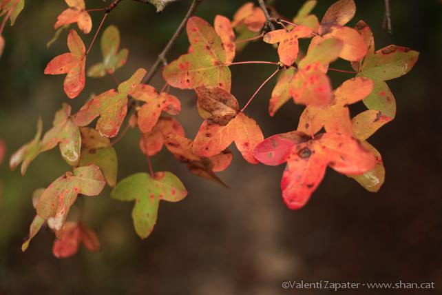 Detalle de hojas de arce de Montpellier (Acer monspessulanum) en la Obaga dels Bosquets. Vallbona de les Monges (Urgell, Catalunya).