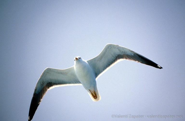 Una gaviota volando, vista desde abajo, representado la libertad.